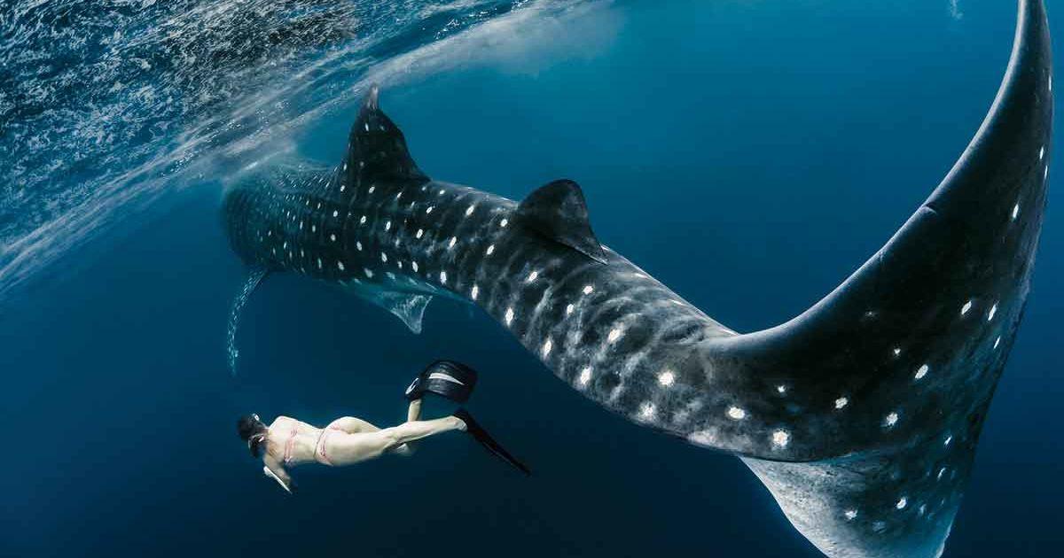 thumbnail-whale-shark-diving.jpg?itok=ZSIG9bco