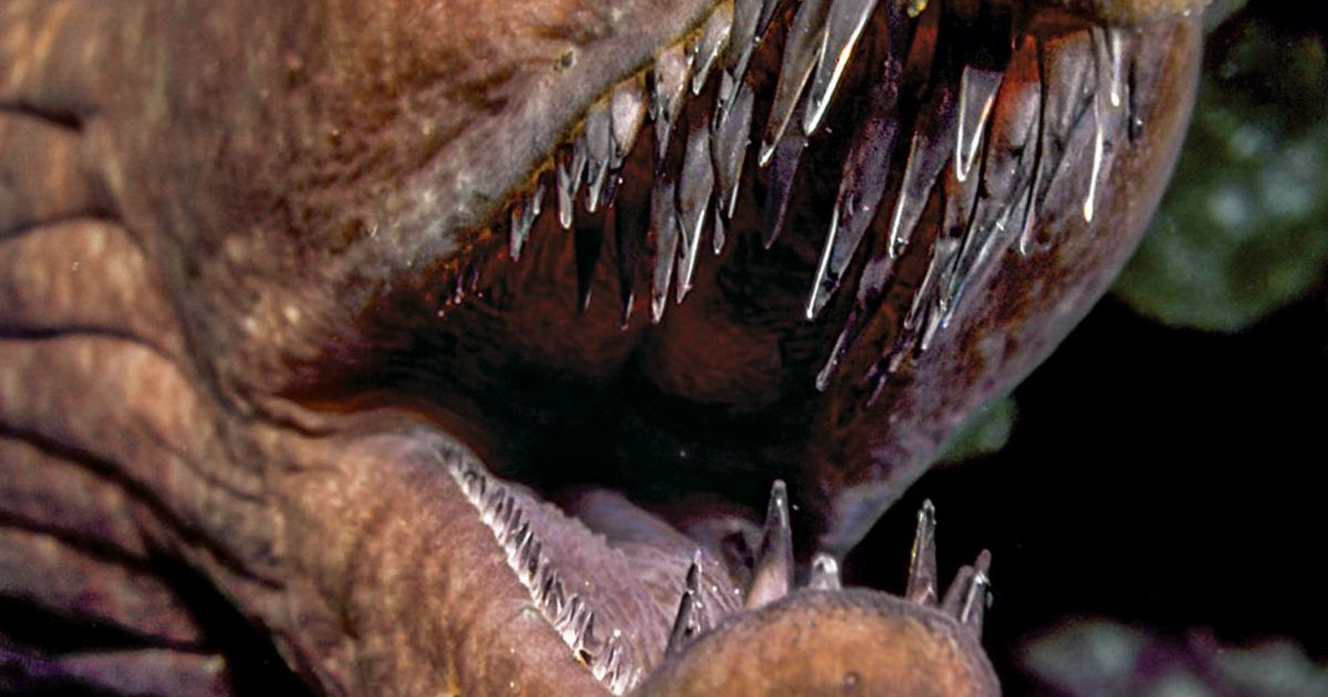 Image of: Canine Teeth Chinchilla Dental Practice Sea Creatures With Terrifying Teeth Sport Diver