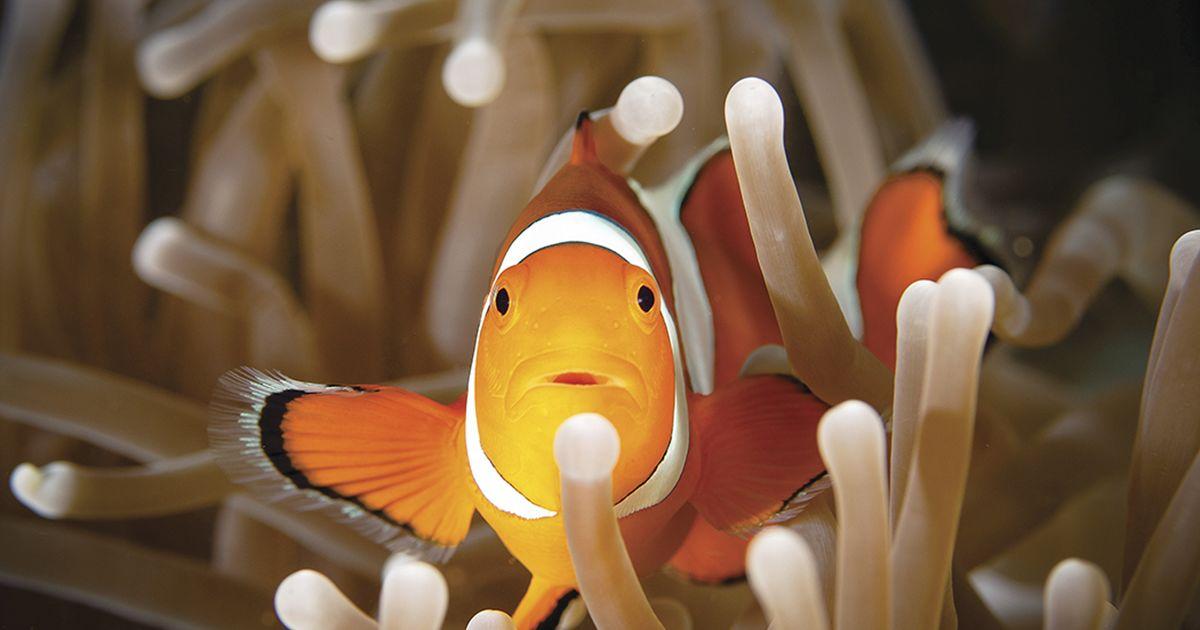 Is clown fish sex change genetic