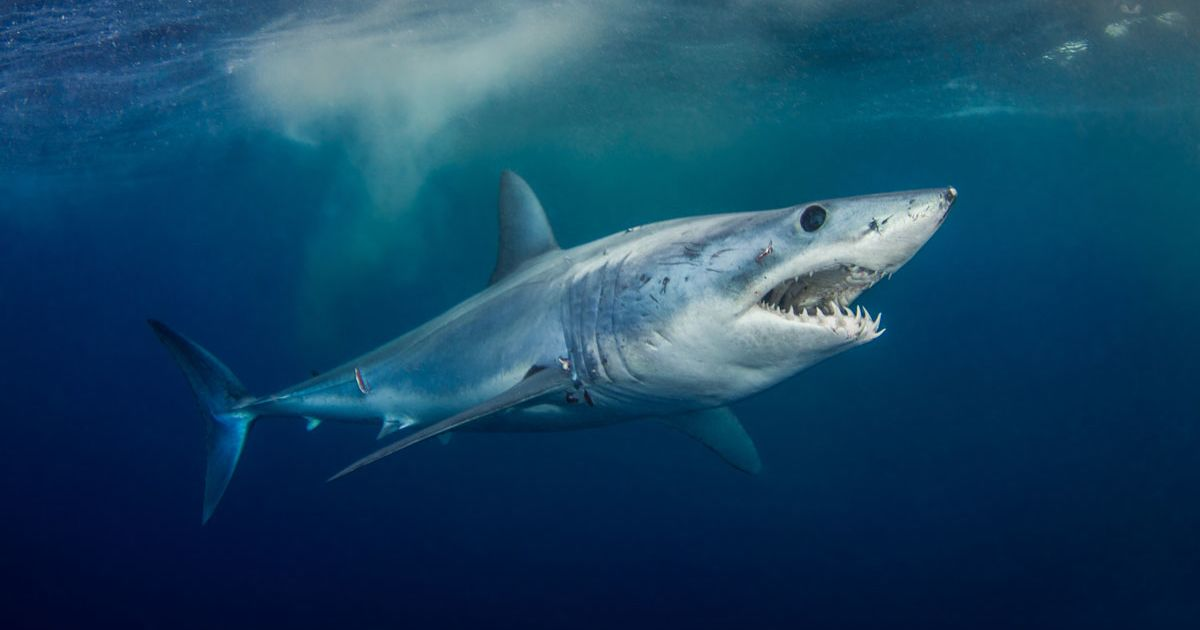 How Far Can Sharks Smell Blood?