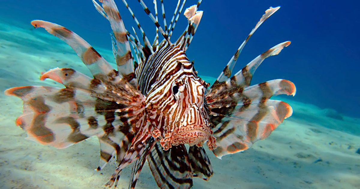 Attack Of The Lionfish...
