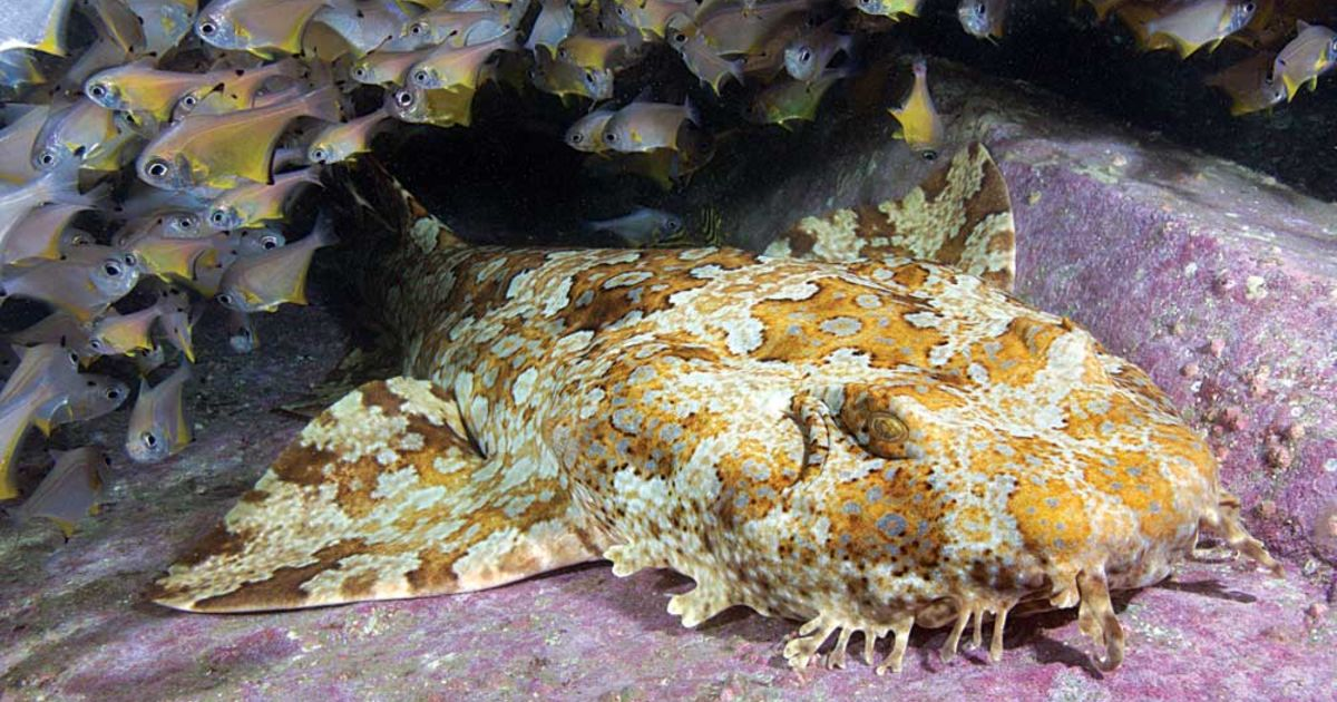 Spotted Wobbegong: A Sluggish, Yet Fascinating Natural Swimmer