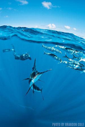 Atlantic Sailfish   Isla Mujeres, Mexico