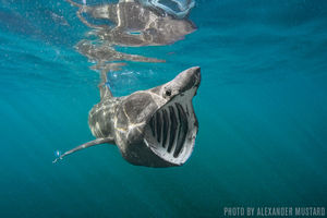 Basking Sharks   Cornwall, England