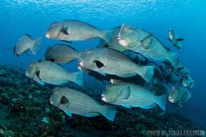 Bumphead Parrotfish   Tulamben, Bali