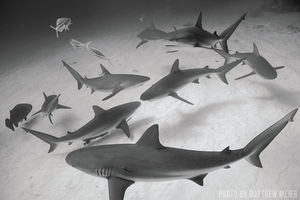 Caribbean Reef Sharks   Grand Bahama Island, Bahamas