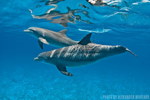 Dolphins   Grand Bahama