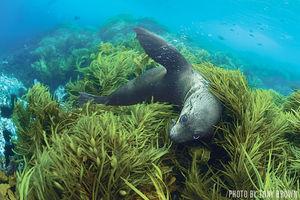 Fur Seals   Montague Island, Australia