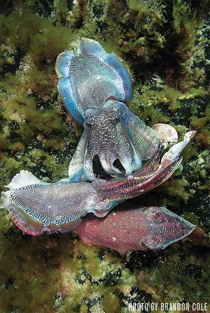 Giant Australian Cuttlefish   Whyalla, South Australia