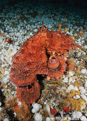 Giant Pacific Octopus   British Columbia