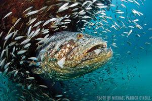 Goliath Grouper   Jupiter, Florida