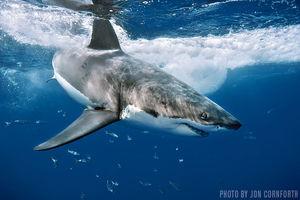 Great White Sharks   Baja California, Mexico