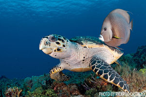 Hawksbill Turtles   Cozumel, Mexico
