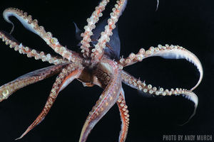 Humboldt Squid   Sea of Cortez, Mexico