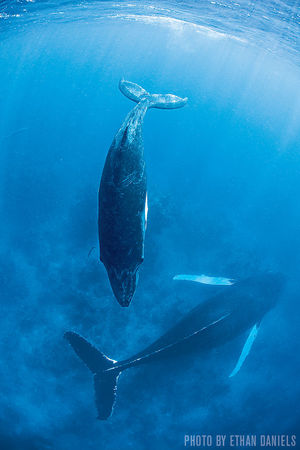 Humpback Whales   Silver Bank, Dominican Republic