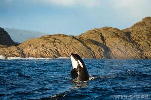 Killer Whales   Stromsholmen, Norway