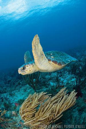 Loggerhead Turtles   Palm Beach, Florida