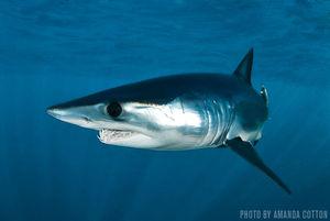 Mako Sharks   Port Judith, Rhode Island