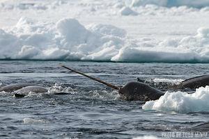 Narwhals   Nunavut, Baffin Island, Canada