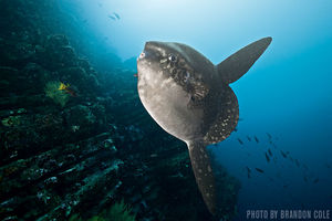 Oceanic Sunfish   Isabela Island, Galapagos