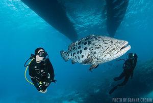 Potato Cod   Great Barrier Reef, Australia