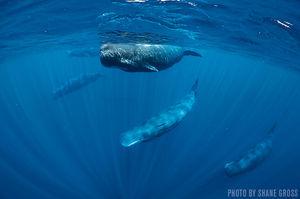 Sperm Whales   Mirissa, Sri Lanka