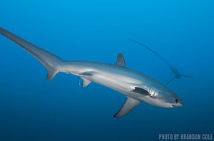 Thresher Sharks   Malapascua, Philippines