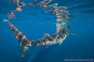 Whale Sharks   Isla Mujeres, Mexico