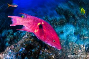 Mexican hogfish Revillagigedo Islands