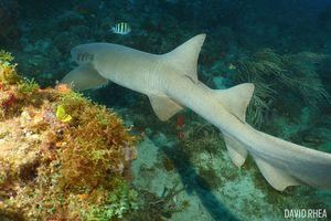Nurse shark underwater in Jupiter, Florida