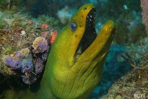Green moray eel seen scuba diving in Jupiter, Florida