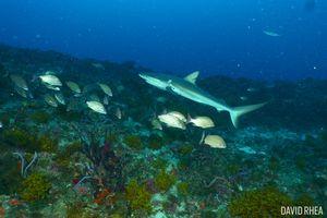 Reef shark seen scuba diving in Jupiter, Florida