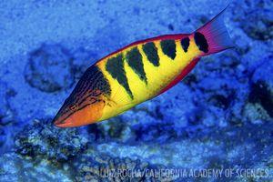 halfbarred wrasse fish