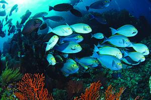 Yellowfin Sturgeonfish
