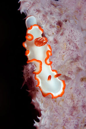 scuba diving Nudi Falls, Lembeh Strait, Indonesia