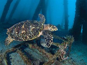 Hawksbill turtle, Barbados