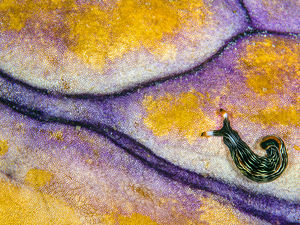 snail underwater photography purple gold reef