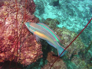 parrot fish seen while scuba diving Curacao in the caribbean.