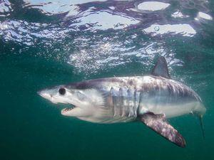 mako shark predicts presidential race