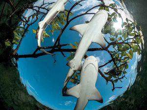 lemon shark nursery bahamas
